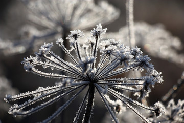 Dry inflorescences of a wild-growing plant in scintillating crystals of hoarfrost.
