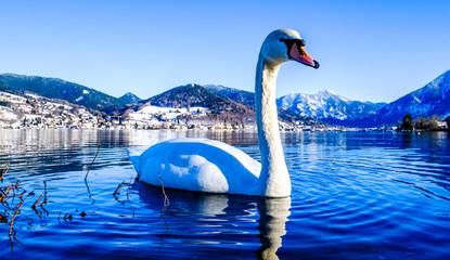 mute swan at the tegernsee lake