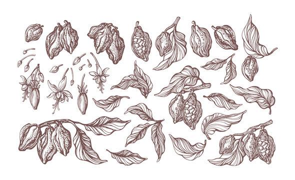 Cocoa set. Vector illustration. Botanical sketch