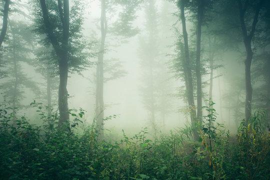green summer woods, misty forest landscape