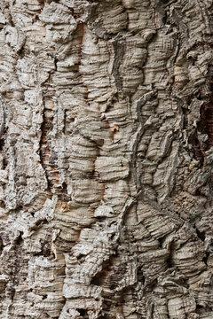 Close up of bark of cork oak Quercus suber.