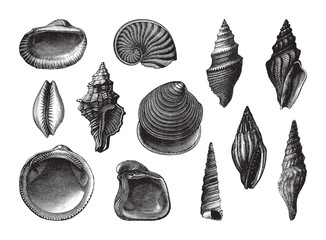 Shell fossil collection (Oligocene period) / vintage illustration from Brockhaus Konversations-Lexikon 1908