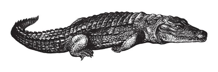 Nile crocodile (Crocodylus niloticus) / vintage illustration from Brockhaus Konversations-Lexikon 1908