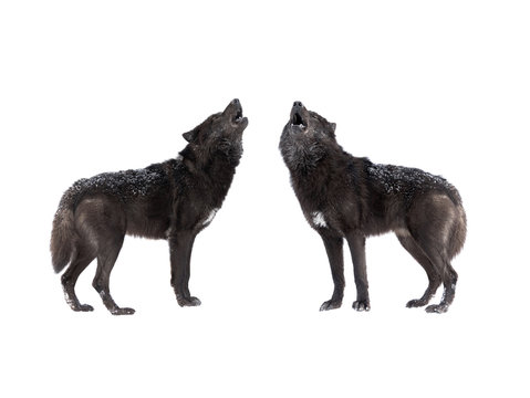 two Howling wolf isolated on a white background.