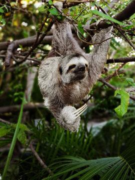 Sloth sitting on tree