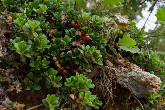 Plant with medicinal properties. Leaves and ripe berries of bearberry , Arctostaphylos uva-ursi