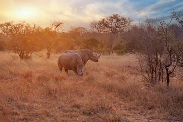 Two rhinoceros (Ceratotherium simum) in the sunset, South Africa