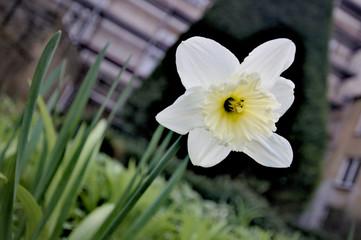 Garden Poster Narcissus Einsame Narcisse