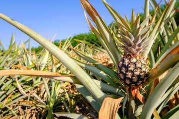 Pineapple Produce in Farm