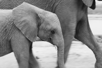 A young elephant, Loxodonta africana, walks side by side with another elephant, black and white image ,Londolozi Game Reserve