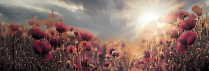 Spoed Fotobehang Klaprozen Poppy field, flowering wild poppy flowers at sunset, soft and selective focus on poppy flower, beautiful cloudy landscape at dusk