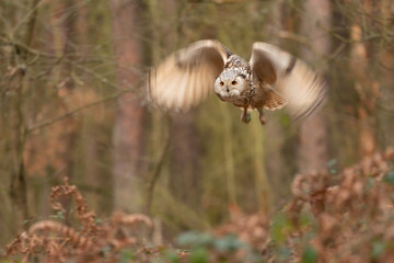 Fototapete - Siberian eagle owl fly in the forest. Longer time exposure with motion blured wings