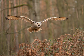 Fototapete - Siberian eagle owl flying and shouting. Front look.