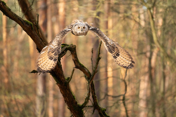 Fototapete - Siberian eagle owl from front flying in the forest