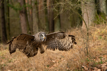 Fototapete - Great grey owl with wide wingspan landing in the forest.
