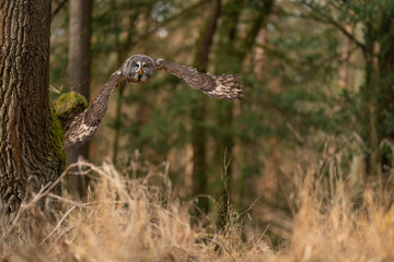 Fototapete - Great grey owl flying above yellow tree ground. Strix nebulosa