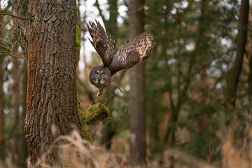 Fototapete - Departing great grey owl with not typical wings position.