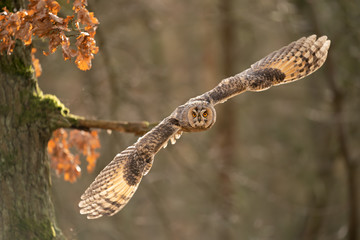 Wall Mural - Flying long-eared owl from close up with copy space in photo