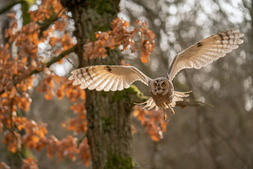 Fototapete - Long-eared owl flying with the trees in background. Asio otus