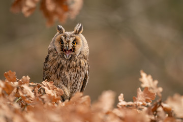 Fototapete - Shouting long-eared owl. Angry look. Rough expression