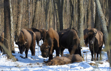 Fototapeten Bison Pack of wolves vs. Herd of European bison (Bison bonasus) near dead young bison cub in the forest of Belarus