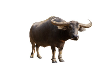 Tuinposter Buffel Male Thai buffalo isolated from white background clipping path