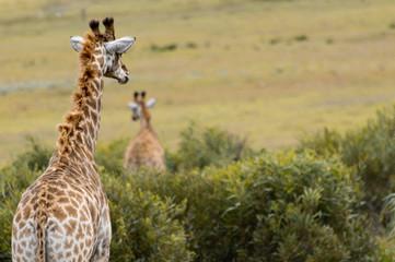 Photo sur Aluminium Girafe Zwei Giraffen vor Büschen in der Savanne; Südafrika
