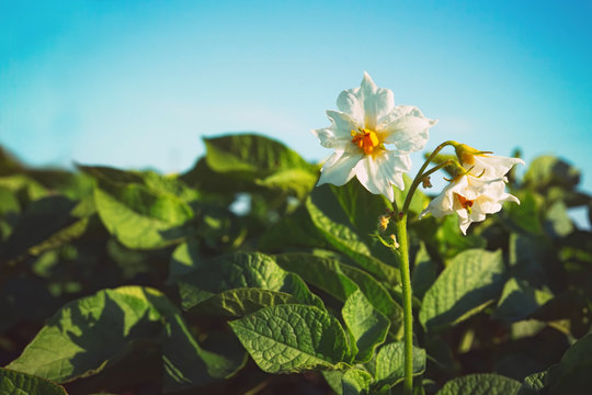 Flowering of growing potatoes. Large white potato flower with fresh green leaves on a blue sky background close-up.
