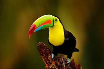 Keel-billed Toucan, Ramphastos sulfuratus, bird with big bill sitting on branch in the forest,...