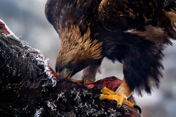 Wall Mural - Eagle feeding cow, detail portrait with bill in the carcass meat with fur coat. Feeding bird behavior. Golden eagle with carcass of big cow, with snow and rime in fur coat. Wildlife nature. Bulgaria.