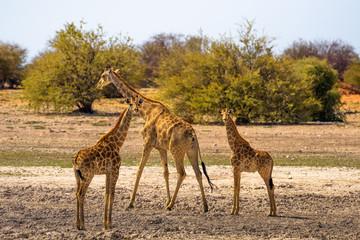 Three Giraffes look into camera in Etosha National Park