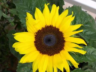 Printed roller blinds Sunflower OLYMPUS DIGITAL CAMERA