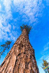 Wall Murals panorama of a pine forest against a blue sky. wild life in nature. the tops of the trees looking up. photo for banner, place for text
