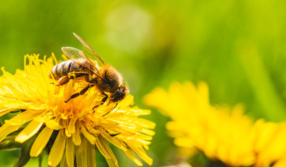 Honey bee covered with yellow pollen collecting nectar from dandelion flower. Important for environment ecology sustainability.