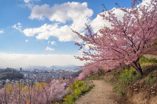 花見山公園の桜と福島市街