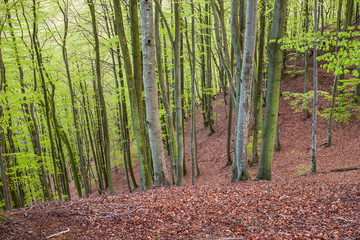 Keuken foto achterwand Bos in mist Misty spring beech forest in a nature reserve in southern Sweden. selective focus