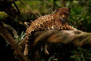 jaguar (Panthera onca) Wall mural