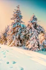 Fototapeta zimowe choinki przysypane śniegiem  obraz