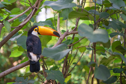 The beautiful toucan is on the green tree.