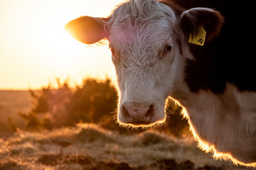 Wall Mural - Hereford cow on farm close up for animal portrait with sunset background.