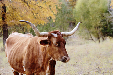 Wall Mural - Sleepy Texas Longhorn cow in fall season landscape.
