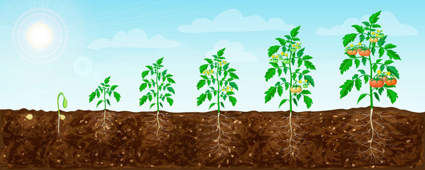 Obraz tomato plant growth stages from seed to flowering and ripening. illustration of tomato feld and life cycle of healthy tomatoes plants with underground roots system in nature. organic gardening - fototapety do salonu