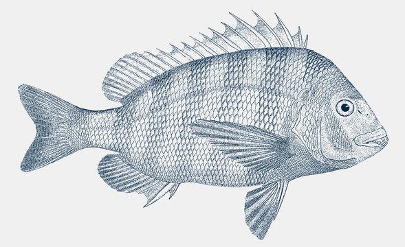 Adult sheepshead, archosargus probatocephalus, a marine fish in side view