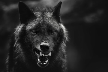 Foto op Aluminium Wolf Greyscale closeup shot of an angry wolf with a blurred background