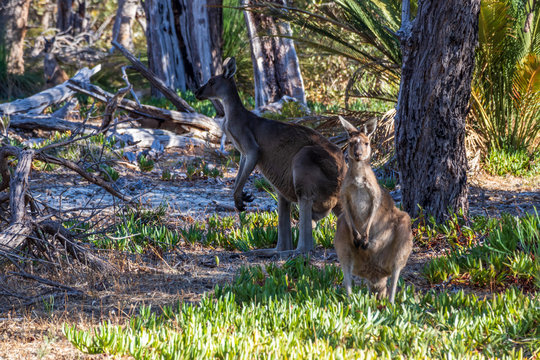 Landscape view of Western Grey Kangaroos at Whiteman Park , near Perth in Western Australia. The park is popular with locals and tourists alike.