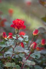 Aluminium Prints Bestsellers Texas roses blooming in springtme