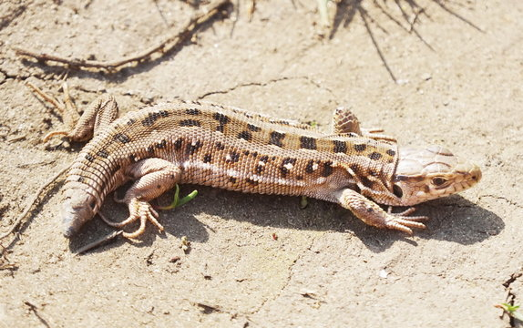 Lizard with a short tail. The sand lizard (Lacerta agilis) that dropped its tail