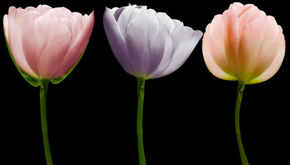 Keuken foto achterwand Tulp set flowers tulips on the black isolated background with clipping path. Close-up. Flowers on the stem. Nature.