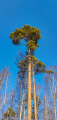 A pine lit by the sun. Russian nature on a clear spring morning.