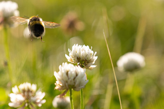 A bee flying through delicate white clover flowers in the summer sunshine
